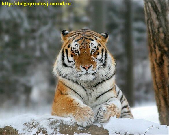 Уссурийский тигр, Амурский